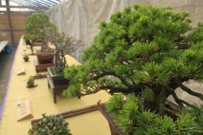 新春 盆栽展を開催
